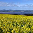 Rape Seed Field, Fife, Scotland
